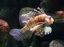 Striped Fish. A Striped Fish swiming in an aquarium Royalty Free Stock Photography
