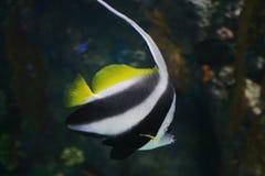 Striped Fish. A Black and White Striped Fish in aquarium stock photo