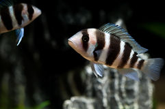 Striped fish Stock Photos