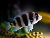 Striped fish Stock Photo