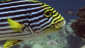 Striped fish on background corals underwater in sea of Maldives. stock video footage