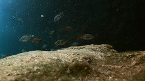 Striped fish in bush lake Yucatan Mexican cenote. Striped fish in the bush landscape Mexican Sacred Mayan Cenote. Deep underground clean and clear fresh lake in stock video footage