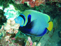Striped fish butterfly Royalty Free Stock Photos