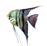Striped fish with long fins Royalty Free Stock Photography