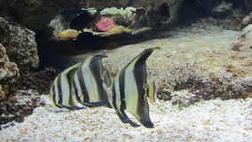 Striped fish from Nemo cartoon. In Istanbul Aquarium Royalty Free Stock Photography