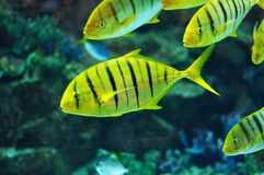 Striped fish in salwater aquarium Royalty Free Stock Image
