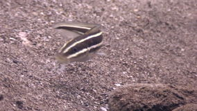 Striped fish on sandy bottom in clean clear water of ocean Philippines. Travel in world of unique colorful beautiful ecosystem nature coral, algae. Inhabitants stock video footage