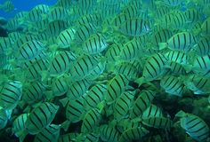 Striped fish in tropical water Royalty Free Stock Images