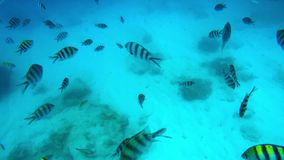 Striped fishes swimming stock video