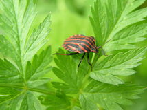 Striped flea beetle Royalty Free Stock Images