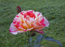Striped floribunda red, pink, yellow and white rose. In the garden Stock Photography
