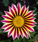 Striped Flower Royalty Free Stock Images