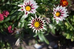 Flower gazania among other flowers in the flower bed royalty free stock photos