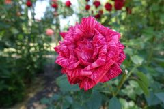 Striped flower of red rose. In June royalty free stock image