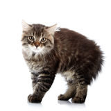 Striped fluffy angry tousled small cat Royalty Free Stock Photos