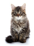 Striped fluffy cat Royalty Free Stock Images