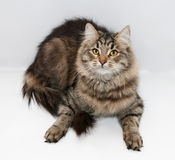Striped fluffy cat lies on gray Royalty Free Stock Image