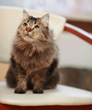 The striped fluffy cat sits on a chair. Royalty Free Stock Photo
