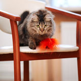 The striped fluffy cat sits on a chair. Striped not purebred kitten. Small predator. Small cat Stock Image