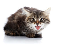 Striped fluffy hissing kitten Stock Image