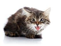 Striped fluffy hissing kitten Stock Image