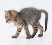 Striped fluffy kitten goes arching tail Stock Photo