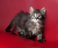 Striped fluffy kitten standing on burgundy Royalty Free Stock Photography