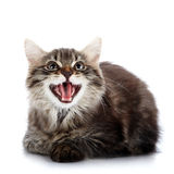 Striped fluffy mewing kitten lies on a white background Royalty Free Stock Image