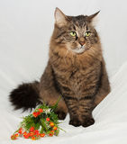 Striped fluffy Siberian cat with green eyes sitting on gray Royalty Free Stock Image