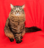 Striped fluffy Siberian cat with green eyes sitting on red Royalty Free Stock Photos