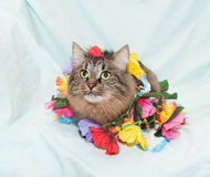 Striped fluffy Siberian cat plays with flower garland Royalty Free Stock Image