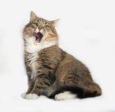 Striped fluffy Siberian cat sitting on gray Royalty Free Stock Photo
