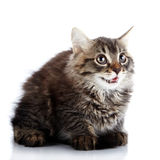 Striped fluffy surprised kitten sits on a white background. Royalty Free Stock Photo