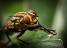 Striped fly Stock Photo