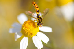 Striped fly sits on a camomile and pollinates it Stock Photos