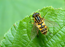 Striped fly (Syrfidae) on a leaf. Royalty Free Stock Images