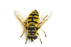 Striped fly Royalty Free Stock Photos