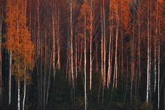Striped forest Royalty Free Stock Photo