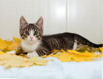 Striped frightened kitten lying on  autumn leaves Royalty Free Stock Image