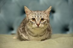 Striped frightened young cat. Gray striped frightened young cat stock photo