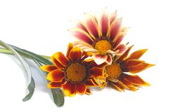 Striped Gazania flowers isolated on white Stock Photography