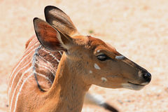 Striped Gazelle Royalty Free Stock Photos