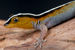 Striped gecko Royalty Free Stock Photos