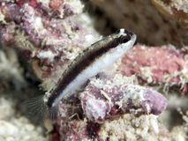 Striped Goby Stock Photos