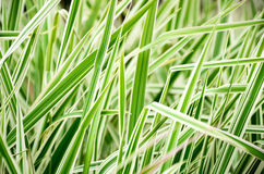 Striped grass closeup 0656 Stock Images