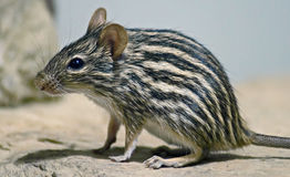 Striped grass mouse 2 Stock Images