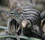Striped grass mouse 3 Stock Image