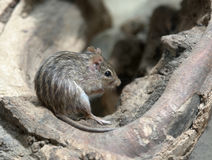 Striped grass mouse Stock Photos