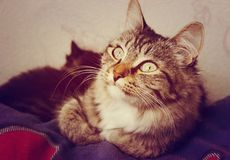 Striped gray cat with big eyes Stock Images