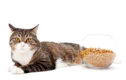 Gray cat and dry food Royalty Free Stock Image